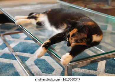 Calico cat sleeping on glass table