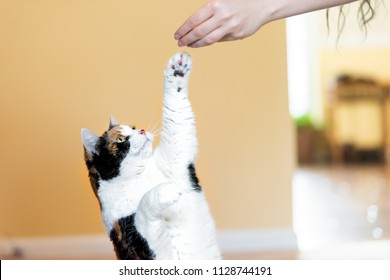 Calico cat standing up on hind legs, begging, picking, asking food in living room, doing trick with front paw, claws with woman hand holding treat, meat
