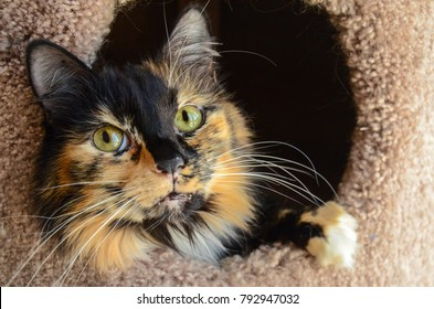 A calico cat sticking her head out of a cat scratcher - cat house
