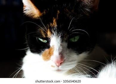 Calico Cat in Sunlight