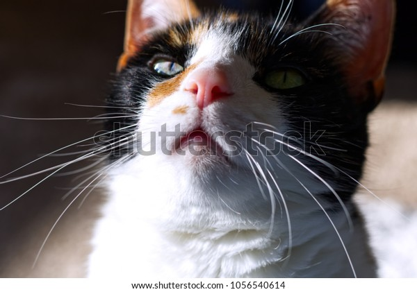 Calico Cat in Sunlight