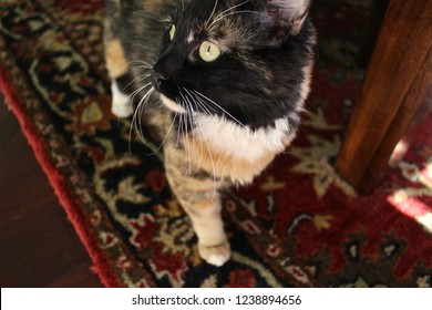 Calico cat walking on rug.
