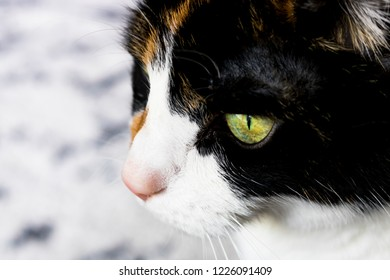 Calico Feline Profile
