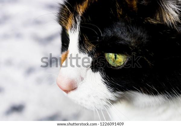 Calico Feline Profile
