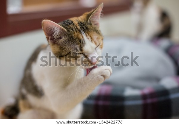 Calico kitten licks paws as she gives herself a bath.