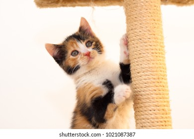 Calico kitten playing on a scratch post