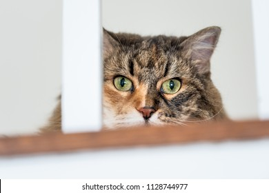 Calico maine coon cat face closeup, lying on carpet floor, hiding behind railing bars with head hidden, big eyes opened