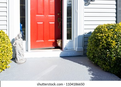 Calico maine coon cat walking outside front red door of house outdoors peeking through during sunny summer day