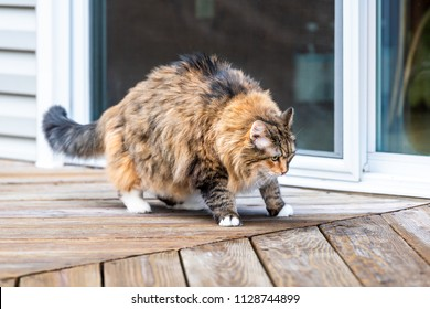 Calico maine coon cat walking on empty, large wooden deck exploring on terrace, patio, outdoor garden house on floor by glass door, making funny pose