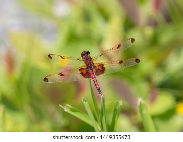 A calico pennant dragonfly perched on a green plant in bright sunlight.