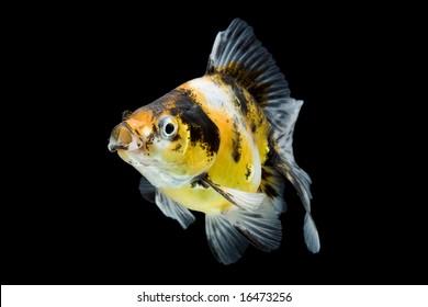 Calico ryukin goldfish swimming against black background.