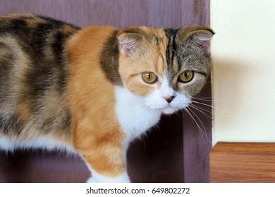 Calico Scottish Fold cat or tortoiseshell and white cat looking at camera