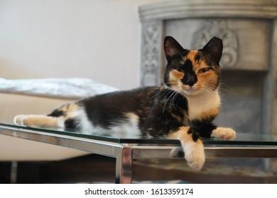 Calico tabby cat reclining on glass table, looking towards photographer