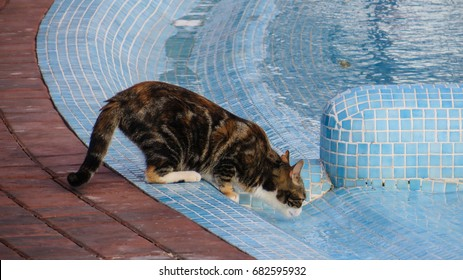 Calico or tortoiseshell cat drinking water from a swimming pool