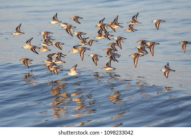 Calidris alba, sanderling bird at Vancouver BC Canada