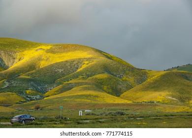 California, APR 8: Beautiful yellow goldifelds blossom on APR 8, 2017 at Carrizo Plain National Monument, California, U.S.A.