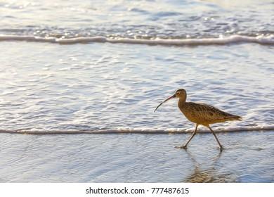 California Beach Sandpiper