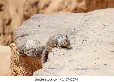 California beach squirrel climbing over a rock in north county San Diego