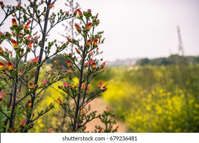 California bee plant (Scrophularia californica) blooming on the Pacific Ocean coastline, Moss Beach, California