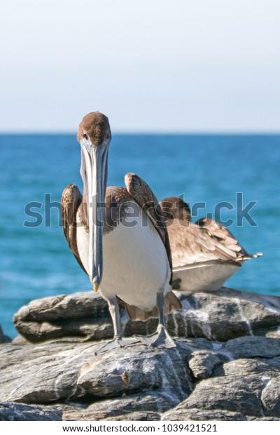 California Brown Pelican on rock in Punta Lobos near Cerritos Beach in Baja California Mexico BCS