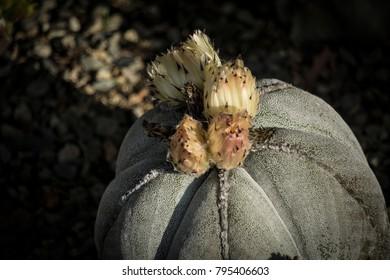 California cactus in bloom