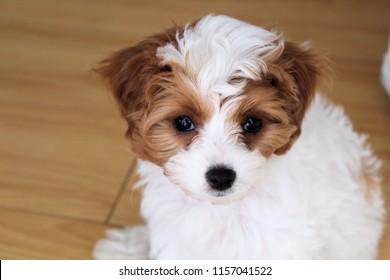California Cavapoo Puppy