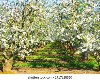 california cherry orchard white cherry blossoms blooming orchard
