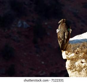 California Condor On Cliff at Grand Canyon in Arizona