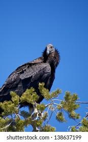 California Condor in Pine