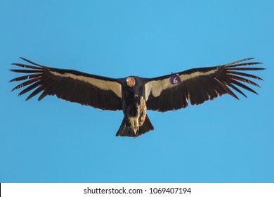 California Condor (Tag #6) at Pinnacles National Park
