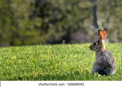 California cotton tail rabbit on green lawn; focus on rabbit
