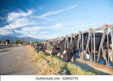 California cows feeding on street side under a bright beautiful blue sky