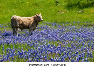 California cows walk through a meadow of colorful blue and purple Sky Lupine wildflowers (Lupinus nanus), on a ranch in the hills of Monterey.