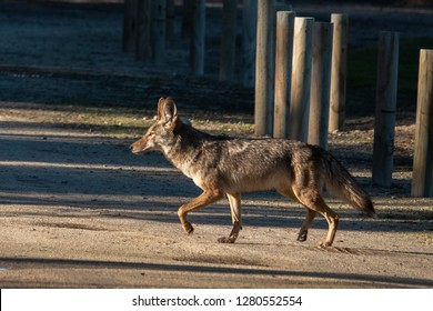 A california Coyote (Canis latrans) in the hills of Monterey, California.