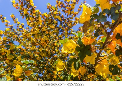 California Flannelbush (Fremontodendron californicum) flowering in spring, California