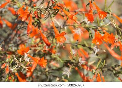 California fuchsia shrub