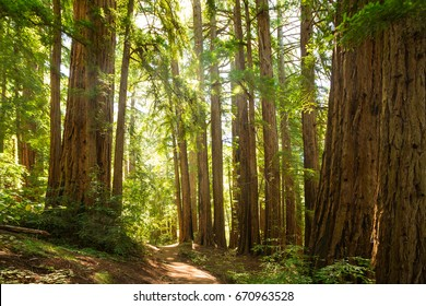 California giant sequoia redwood forest