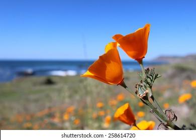 California Golden Poppies, Big Sur, California, USA