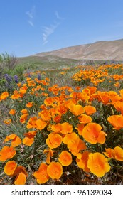 California Golden Poppies blooming in Gorman, CA