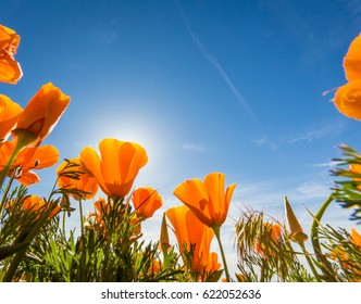 California Golden Poppies blooming wild in a field in the Antelope Valley