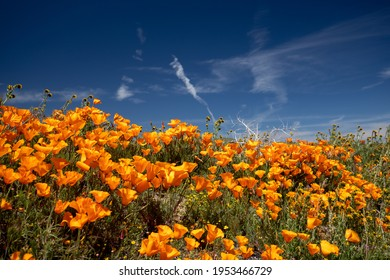 California Golden Poppies during springtime superbloom in the southern California high desert Poppy Preserve