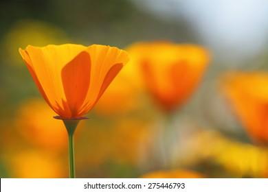 California golden poppies Macro Close Up.