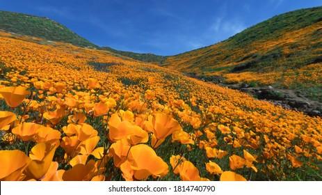 California Golden Poppy blooming in Walker Canyon, Lake Elsinore, CA