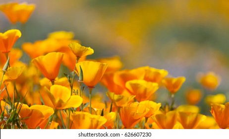 California Golden Poppy in Diamond Valley Lake, CA