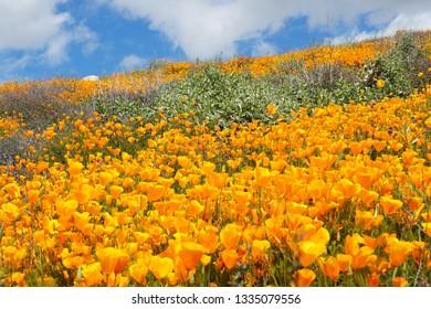California Golden Poppy and Goldfields blooming in Walker Canyon, Lake Elsinore, CA. USA. Bright orange poppy flowers during California desert super bloom spring season.