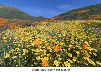 California Golden Poppy and Goldfields blooming in Walker Canyon, Lake Elsinore, CA