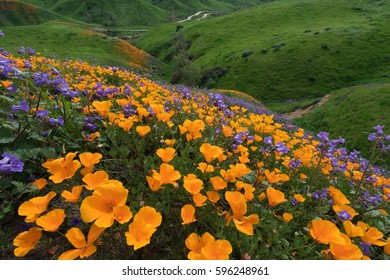 California Golden Poppy and Phacelia Minor blooming in Chino Hills State Park, California