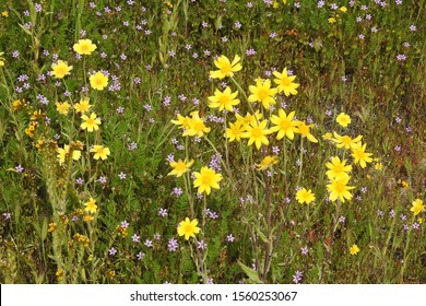 California goldfields and common storksbill wildflowers blooming, Carrizo Plain, San Luis Obispo County, California.