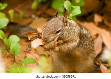 A California ground squirrel gathering leaves for a nest.
