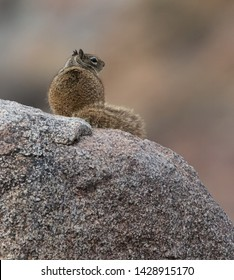 A California ground squirrel (Otospermophilus beecheyi) sits on a large, granite boulder on the Palm Canyon Trail, Borrego Springs, California
